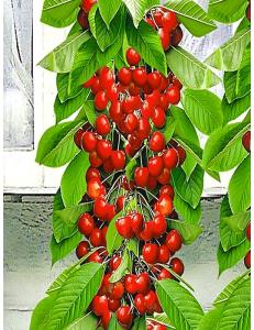 Колоновидная черешня Красная помада в Армавире