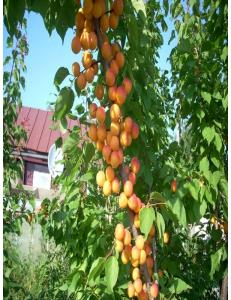 Колоновидный абрикос Первайс в Армавире