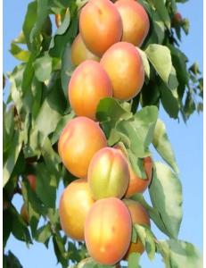 Колоновидный абрикос Радости жизни в Армавире