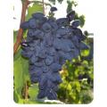 Виноград Викинг в Армавире