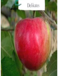 Яблоня Деликатес в Армавире