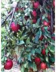 Яблоня Рихард в Армавире