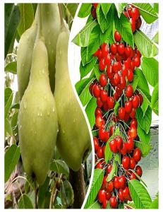 Комплект из 2-х сортов в Армавире - Колоновидная груша Видная + Колоновидная черешня Красная помада