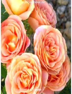 Роза Экзотика в Армавире