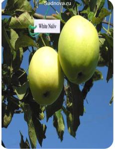 Яблоня Белый Налив в Армавире