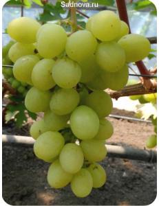 Виноград Валек в Армавире