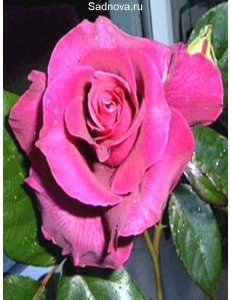 Роза Биг Парпл в Армавире