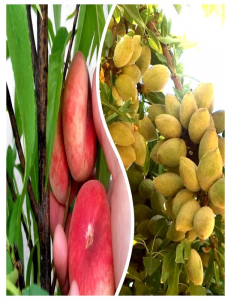 Комплект из 2-х сортов в Армавире - Миндаль Нонпарель + Инжирный персик Маршмеллоу