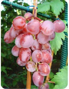 Виноград Виктория в Армавире