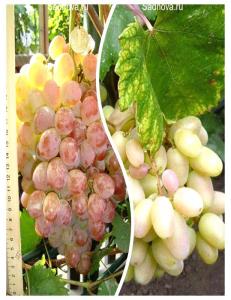 Комплект из 2-х сортов в Армавире - Виноград Преображение + Виноград Фламинго