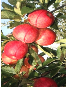 Яблоня Книп-Баум Галла Мондиал в Армавире