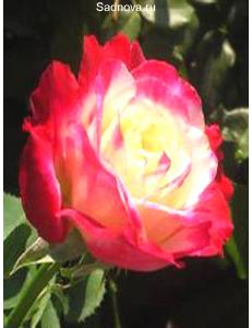 Роза Дабл Дилайт в Армавире