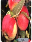 Яблоня Мельба в Армавире