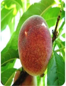 Персик Красная Девица в Армавире