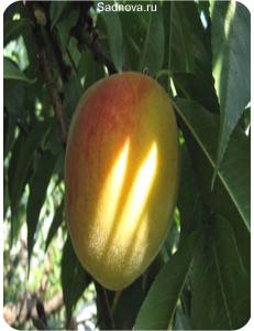 Персик Золотой Юбилей в Армавире