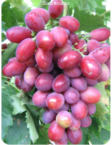 Виноград Дунав в Армавире