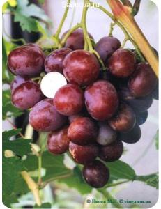 Виноград Атаман в Армавире