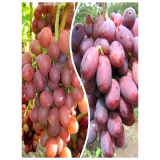 Комплект из 2-х сортов в Армавире - Виноград Ливия + Виноград Шахиня Ирана