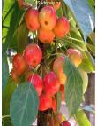 Яблоня Райская Яблоня в Армавире