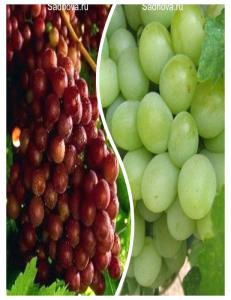 Комплект из 2-х сортов в Армавире - Виноград Граф Монте Кристо + Виноград Александрит