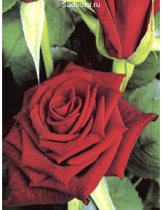 Роза Блэк Мэджик в Армавире
