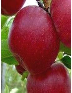 Яблоня Джонатан в Армавире