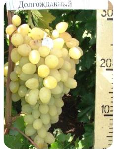 Виноград Долгожданный в Армавире