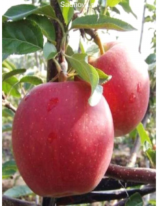 Яблоня Гала Маст в Армавире