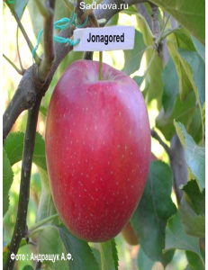 Яблоня Джонагоред в Армавире