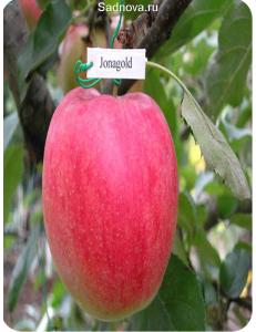 Яблоня Джонаголд в Армавире