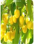 Черешня Дрогана Желтая в Армавире