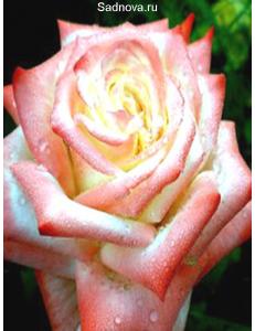 Роза Императрица Фарах в Армавире