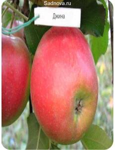 Яблоня Джина в Армавире