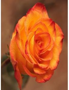 Роза Хай Меджик в Армавире