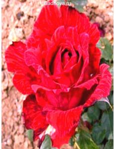 Роза Ред Интуишн в Армавире