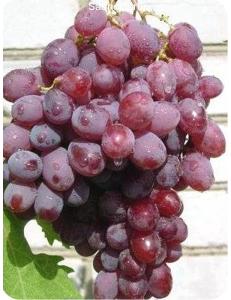 Виноград Гелиос в Армавире