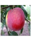 Яблоня Виста Белла в Армавире