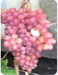 Виноград Велес в Армавире