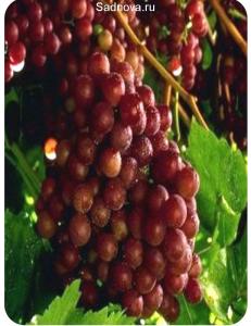 Виноград Граф Монте Кристо в Армавире