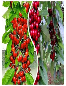 Комплект из 2-х сортов в Армавире - Колоновидная черешня Красная помада + Колоновидная черешня Квин Мери