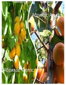 Комплект из 2-х сортов в Армавире - Абрикос Альфа + Абрикос Фелпс