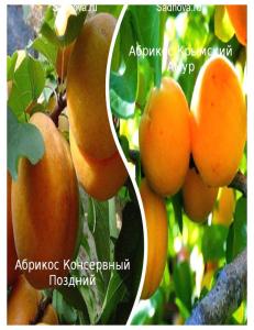 Комплект из 2-х сортов в Армавире - Абрикос Крымский Амур + Абрикос Консервный Поздний