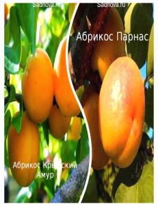 Комплект из 2-х сортов в Армавире - Абрикос Парнас + Абрикос Крымский Амур