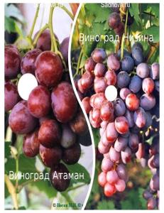 Комплект из 2-х сортов в Армавире - Виноград Атаман + Виноград Низина