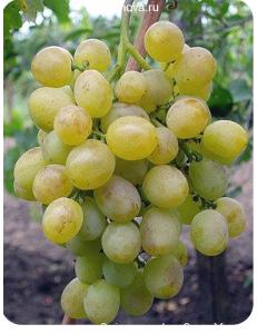 Виноград Восторг в Армавире